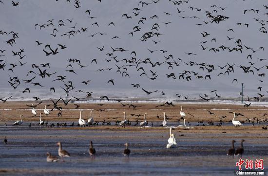 新疆南部進入候鳥遷徙高峰期