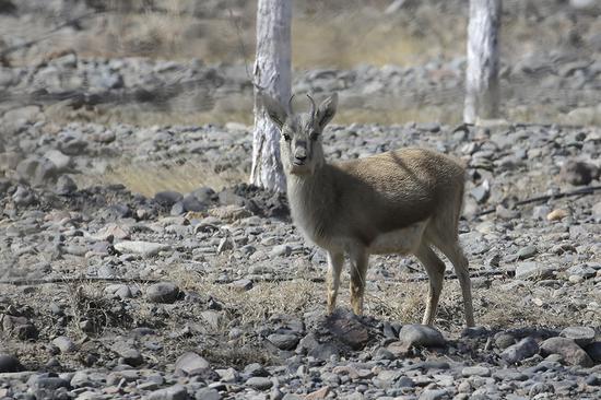 警惕性很高的鵝喉羚。