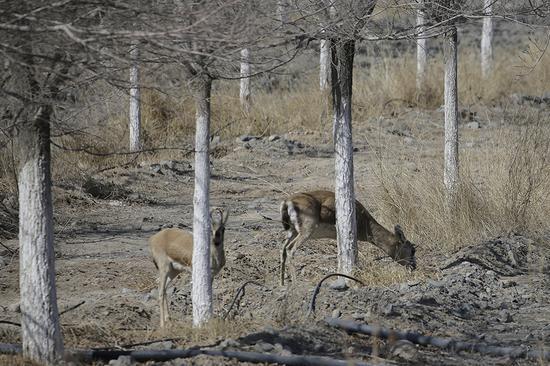 正在覓食的鵝喉羚。