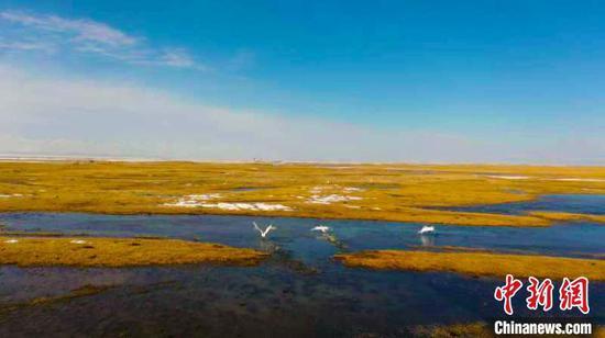 每年四月份,數以萬計的天鵝,成群結隊地飛回巴音布魯克天鵝湖繁衍生息。 劉雨珊 攝