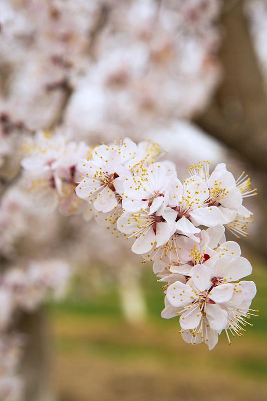 粉色花海!新疆轮台县6000亩杏花盛开