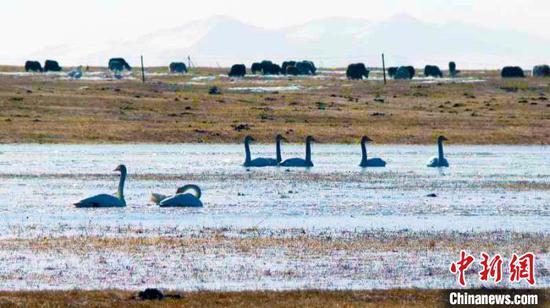 巴音布魯克自然保護區是中國最大的天鵝繁殖地,有著