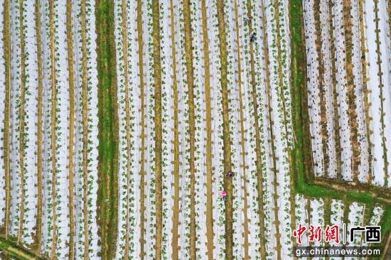 广西上林县:春耕生产掀高潮