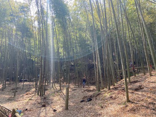 竹林。  項菁 攝