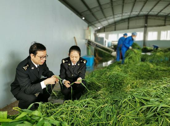 2020年浙江台州首批大麦苗碎顺利出口  台州海关供图