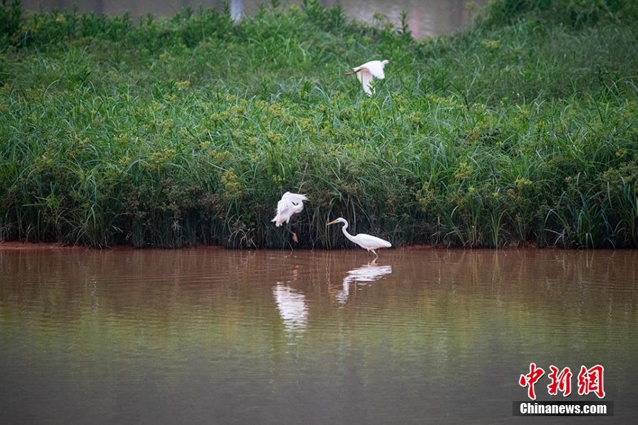梧州:白鹭自由徜徉 构成生态画卷