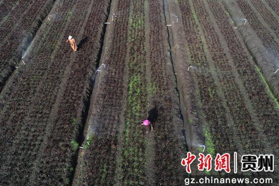 2020年4月15日,贵州省毕节市黔西县林泉镇海子村花卉种植基地,村民为花卉苗浇水    史开心 摄