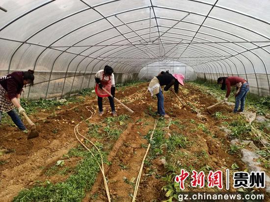 大方县大山乡村民在采收早熟马铃薯 周高定 摄