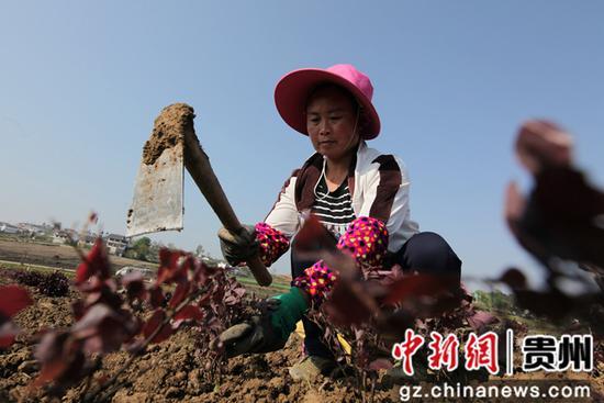 2020年4月15日,贵州省毕节市黔西县林泉镇海子村花卉种植基地,村民在坝区移栽花卉苗。  史开心 摄