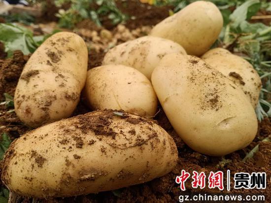 大方县大山乡早熟马铃薯 周高定 摄