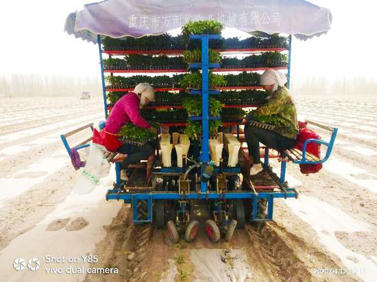 和硕县全面开展番茄机械化移载种植技术