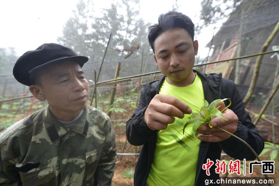 """广西三江:种植中草药""""重楼""""有收入促脱贫"""