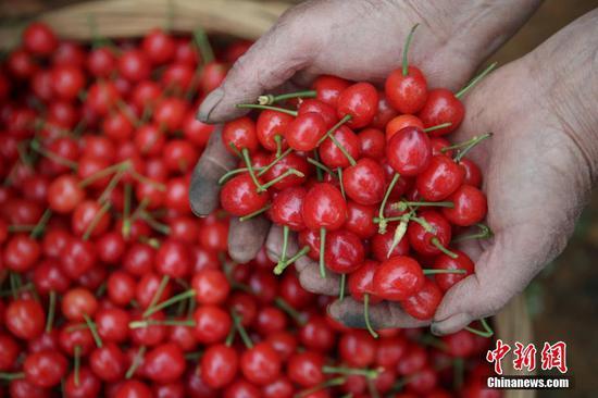 4月22日,果农在纳雍县厍东关乡万亩樱桃园展示采摘的樱桃。近日,贵州省毕节市纳雍县种植的玛瑙红樱桃进入采摘上市期,果农忙于采摘、挑选、装箱樱桃供应市场,一派繁忙景象。据悉,纳雍县累计种植玛瑙红樱桃13万亩,投产面积近5.5万亩,产量约1.7万吨,产值2.72亿元人民币。玛瑙红樱桃产业已成为该县厍东关、维新等乡镇民众增收的支柱产业。 中新社记者 瞿宏伦 摄