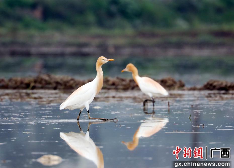 广西融安湿地环境好 鸟儿来觅食