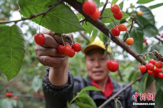 4月22日,果农在纳雍县厍东关乡万亩樱桃园采摘樱桃。近日,贵州省毕节市纳雍县种植的玛瑙红樱桃进入采摘上市期,果农忙于采摘、挑选、装箱樱桃供应市场,一派繁忙景象。据悉,纳雍县累计种植玛瑙红樱桃13万亩,投产面积近5.5万亩,产量约1.7万吨,产值2.72亿元人民币。玛瑙红樱桃产业已成为该县厍东关、维新等乡镇民众增收的支柱产业。 中新社记者 瞿宏伦 摄