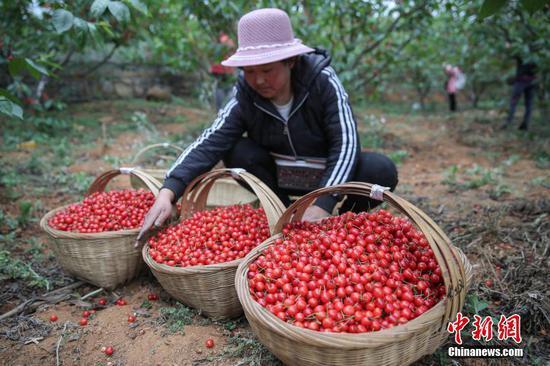 4月22日,纳雍县厍东关乡,果农在整理采摘的樱桃。近日,贵州省毕节市纳雍县种植的玛瑙红樱桃进入采摘上市期,果农忙于采摘、挑选、装箱樱桃供应市场,一派繁忙景象。据悉,纳雍县累计种植玛瑙红樱桃13万亩,投产面积近5.5万亩,产量约1.7万吨,产值2.72亿元人民币。玛瑙红樱桃产业已成为该县厍东关、维新等乡镇民众增收的支柱产业。 中新社记者 瞿宏伦 摄