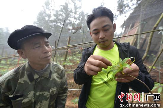 """廣西三江:種植中草藥""""重樓""""有收入促脫貧"""