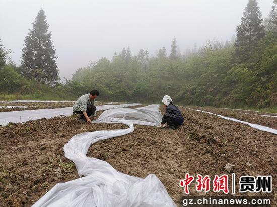 猫坡村贫困户刘德忠夫妇给西瓜种植地盖膜