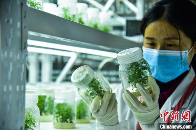 廣西青蒿進入耕種季 組培技術提高青蒿素含量