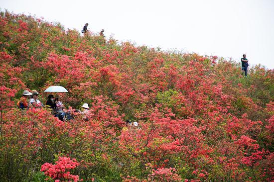 浙江黃巖太湖山頂杜鵑盛放:漫山遍野一片紅
