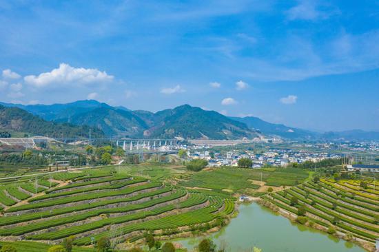 提升茶葉價值 精深加工助力浙江松陽茶產業