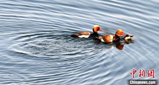 新疆博斯腾湖:芦苇返青候鸟翩跹