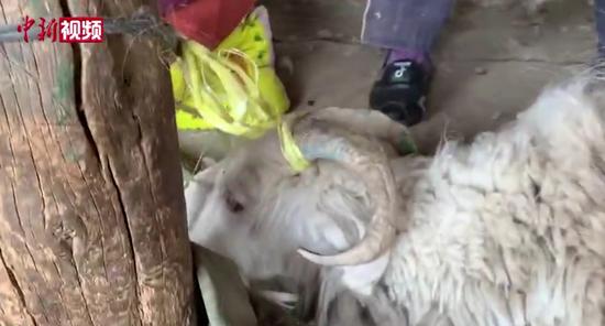 实拍新疆南部村落传统抓羊绒 小羊叫声惹人疼