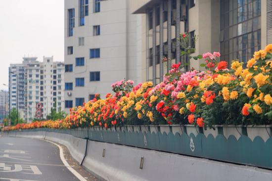 图为杭州中河高架上的月季。 杭州市园文局供图