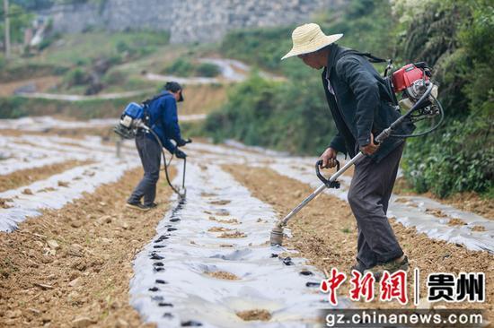 七星关区生机镇生机社区的村民在打孔,为移栽辣椒苗作准备  陈曦摄
