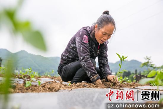 5月12日,在澳门金沙网上平台省毕节市大方县慕俄格古城街道凉井村,村民正在种植辣椒苗。 罗大富 摄