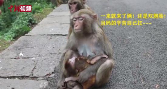 貴陽(yang)黔靈山(shan)獼(mi)猴產下雙胞胎 專(zhuan)家︰此情況屬(shu)罕見
