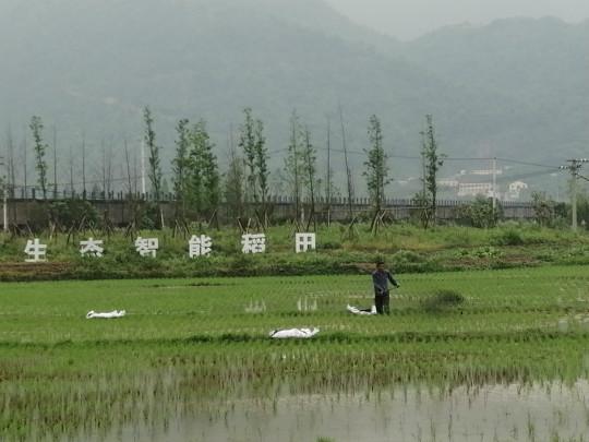 亚星集团瑞安生态智能稻田上,农户正施肥。 王迎 摄