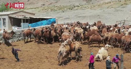 """新疆南部迎来骆驼""""脱毛""""季"""