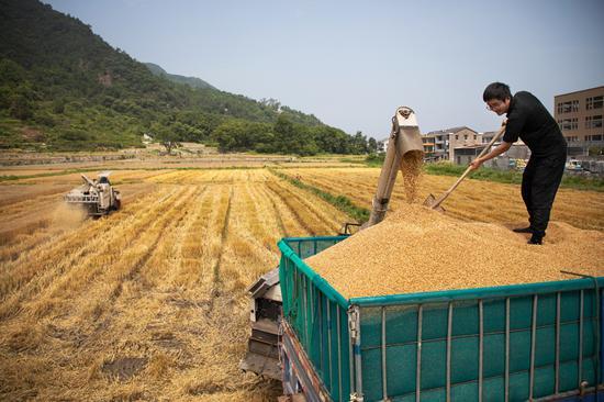 农民迎来小麦丰收。 王敏智 摄