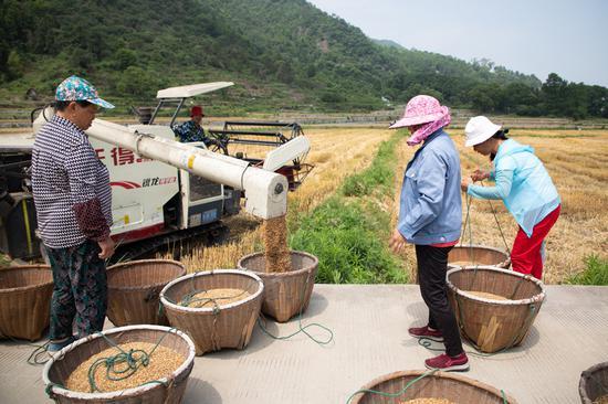 小麦丰收。 王敏智 摄