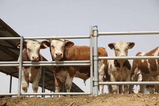 """探访宁夏红寺堡""""飞地""""肉牛养殖园区"""