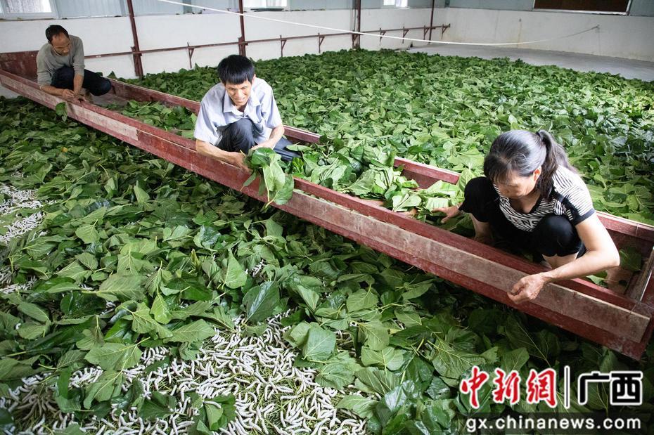 广西鹿寨建标准化蚕房助农民致富