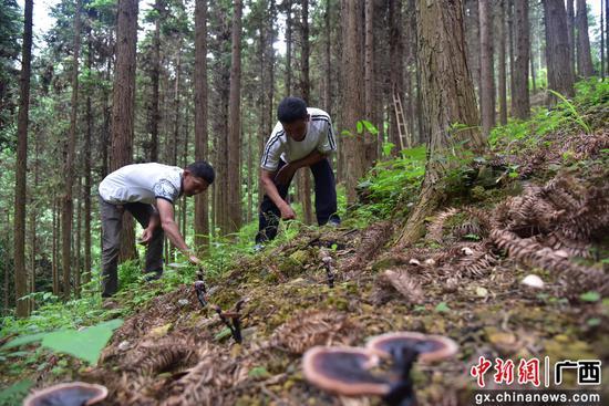 仿野生灵芝种植成为广西鹿寨农民致富新渠道