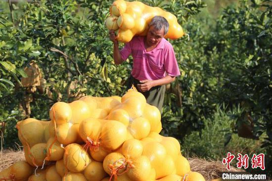 广西环江毛南族自治县大安乡环界红心香柚种植示范基地,村民忙着秋收红心香柚。谭峰 摄