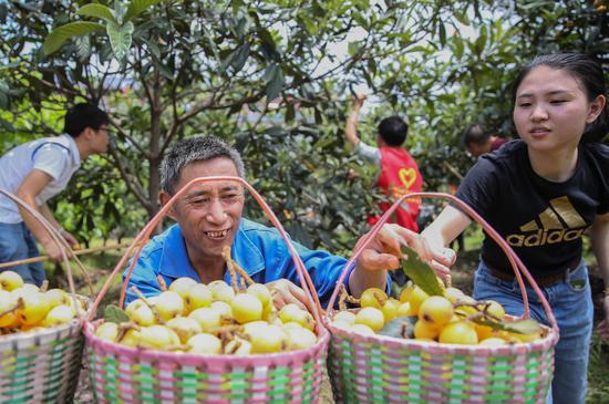 志愿者帮助贫困户摘枇杷。 姚海翔 摄