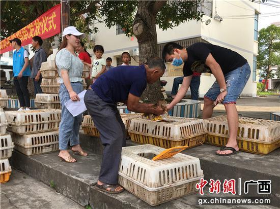 石塘镇贫困户免费领取鸡苗。 叶鹏 摄