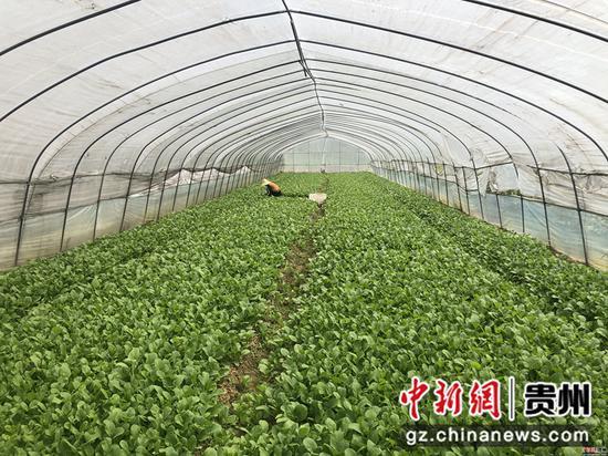 官坝社区蔬菜基地里蔬菜长势良好 唐娟 摄