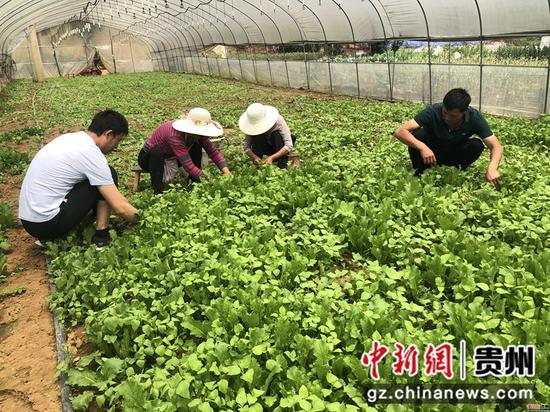 务工群众忙着采摘蔬菜 唐娟 摄