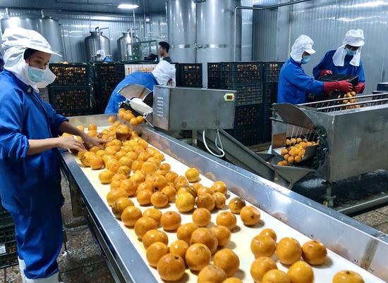 车间里,工人们在挑选、清洗胡柚 常山传媒集团提供