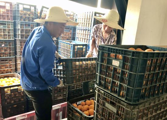 厂房外,工人们正在搬运胡柚  常山传媒集团提供