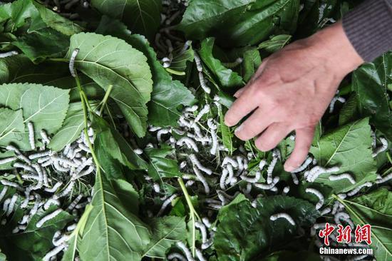 贵州凤冈蚕桑产业助农增收