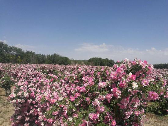 新疆抗寒月季再添新品种 助力脱贫攻坚