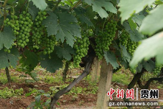 生长充沛的葡萄