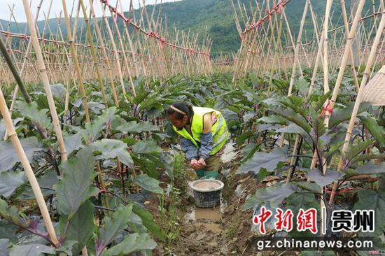 工人为茄子施肥
