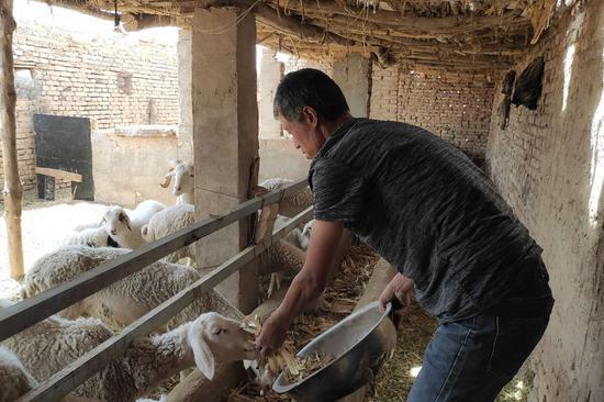 图为   父亲为羊喂草料是的镜头  张尊孝摄